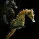 Raising Seahorses: Part II