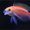 The Perfect Fish for Reef Aquaria?
