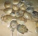 Fish Tales: Horseshoe Crabs