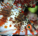 The Hawkfishes