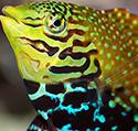 Fish Tales: I'm a Wrasse-aholic