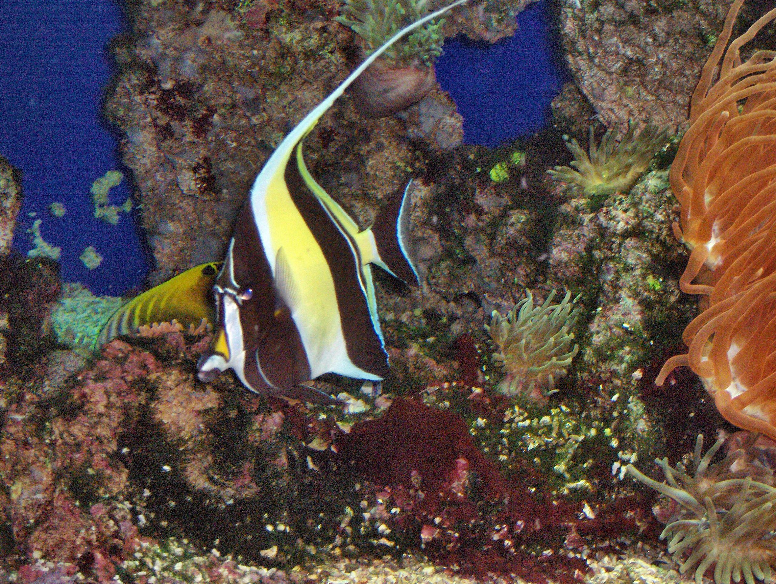Aquarium Fish Reconsidering The Moorish Idol Reefs Com