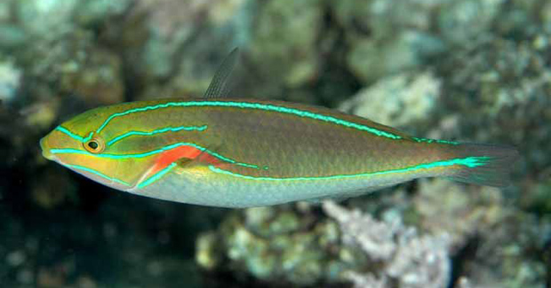 bluelined-wrasse