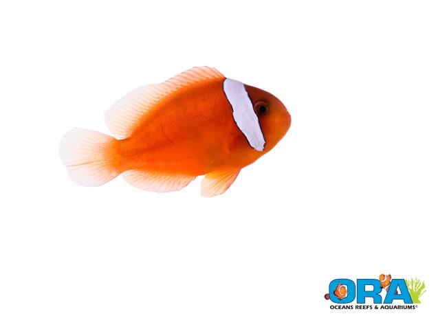 ORA-Barberi-Clown