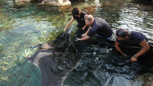 A small Manta Ray is introduced into a 500,000 gallon residential saltwater lagoon. http://isshamaqua.com/maintenance.html