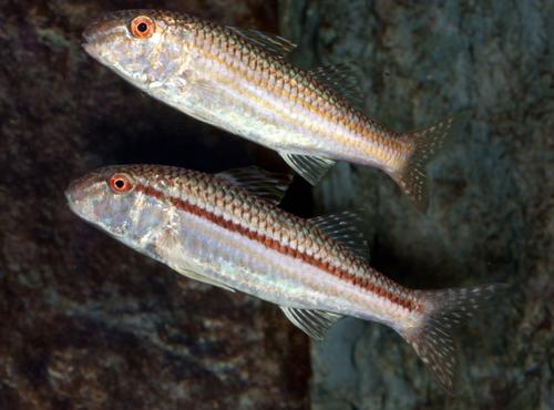 A pair of red goatfish, Mullus auratus at the Long Island Aquarium