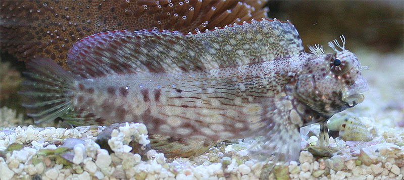 Mr. Personality: The Lawnmower Blenny