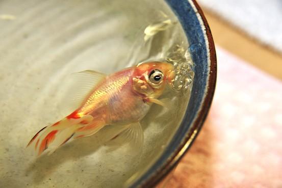 golsfish