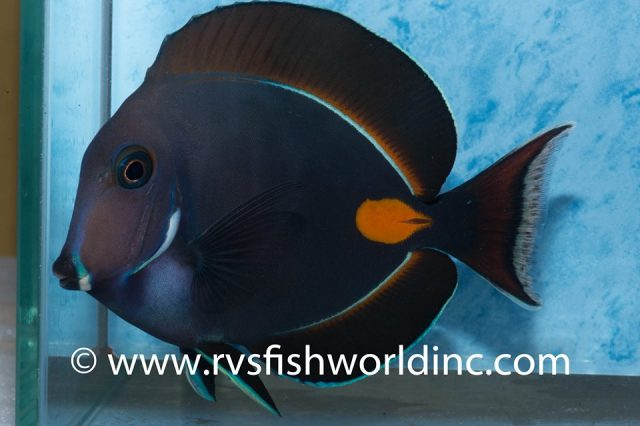 A young Acanthurus achilles from Cagayan, Philippines. Credit: Barnett Shutman / RVS Fishworld