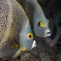 Portrait of two French angelfish, face to face. Pomacanthus paru.  Curacao, Netherlands Antilles. Unaltered/Uncontrolled. . Model Release: Not Applicable.