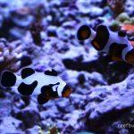 Focus on Fish – MochaVinci Clownfish