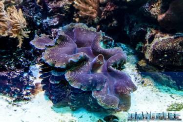 2015_12-Tridacna-at-Madagascar-Reef-Aquarium-at-Zoo-Zurich70
