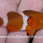 "A ""Bald"" Ocellaris Clownfish & A Hybrid Fairy Wrasse"