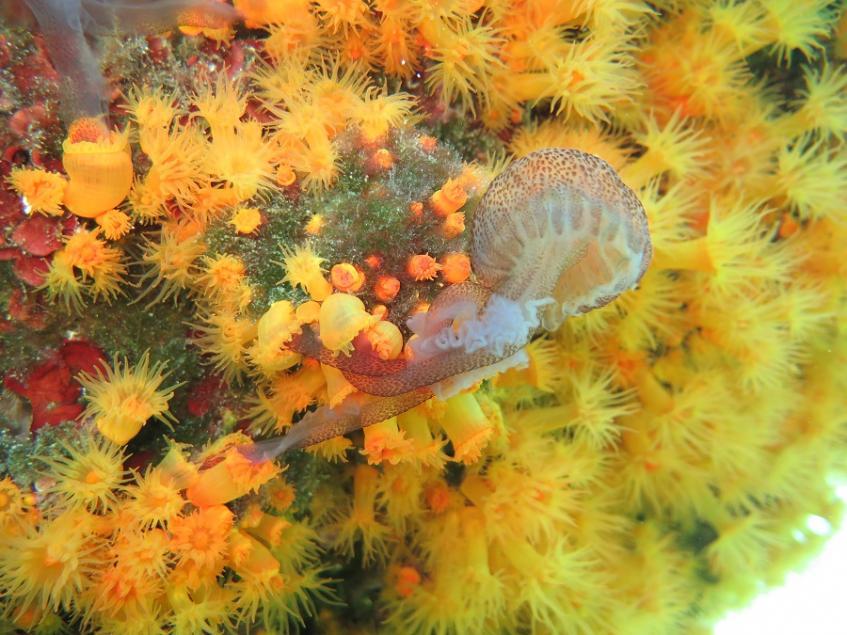 jellyfish-eating_coral_credit_fabio_bada